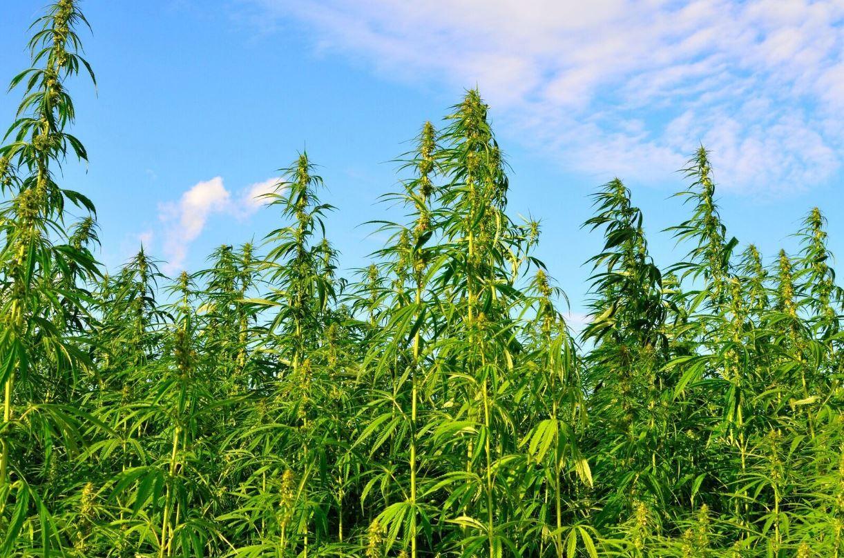 Cannabis / Hemp